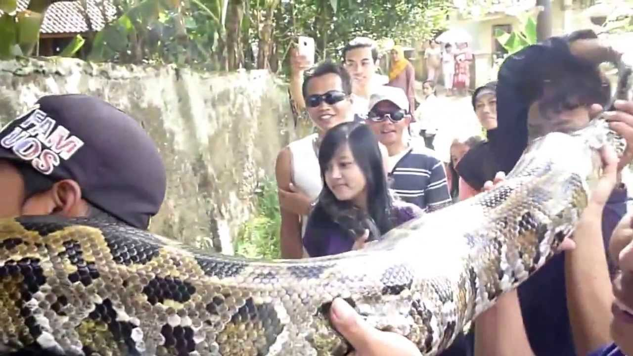worlds biggest snake 2015 worlds biggest snake found alive not dead new 2015 video giant ever youtube