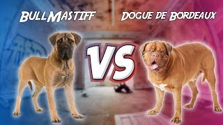 Bullmastiff VS Dogue de Bordeaux