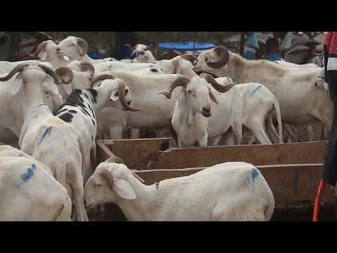 Prices of sheep soar in Senegal ahead of Eid al-Adha