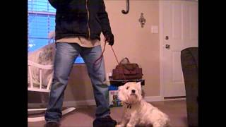 Stress Temperament Testing A Westie