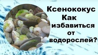 Ксенококус. Как избавиться от водорослей?