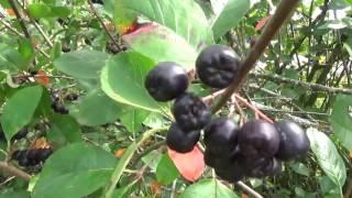 Черноплодная рябина протертая с сахаром. Чудодейственная ягода