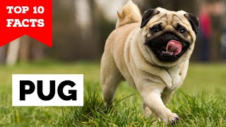 Pug  Top 10 Facts