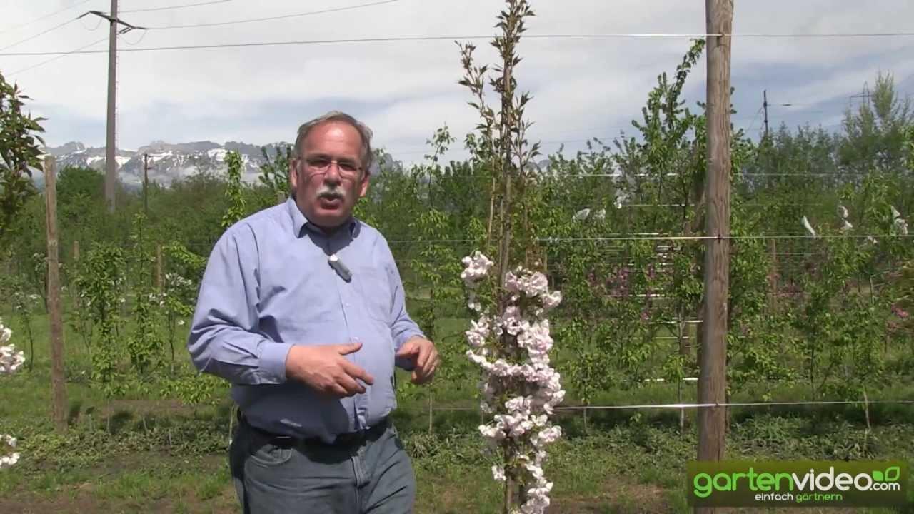 Beliebt Säulenzierkirsche Prunus Amanogawa - YouTube UF87