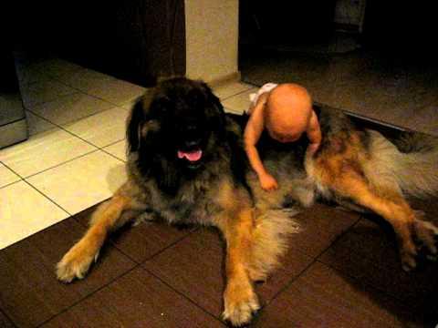 Leonberger z rocznym dzieckiem.