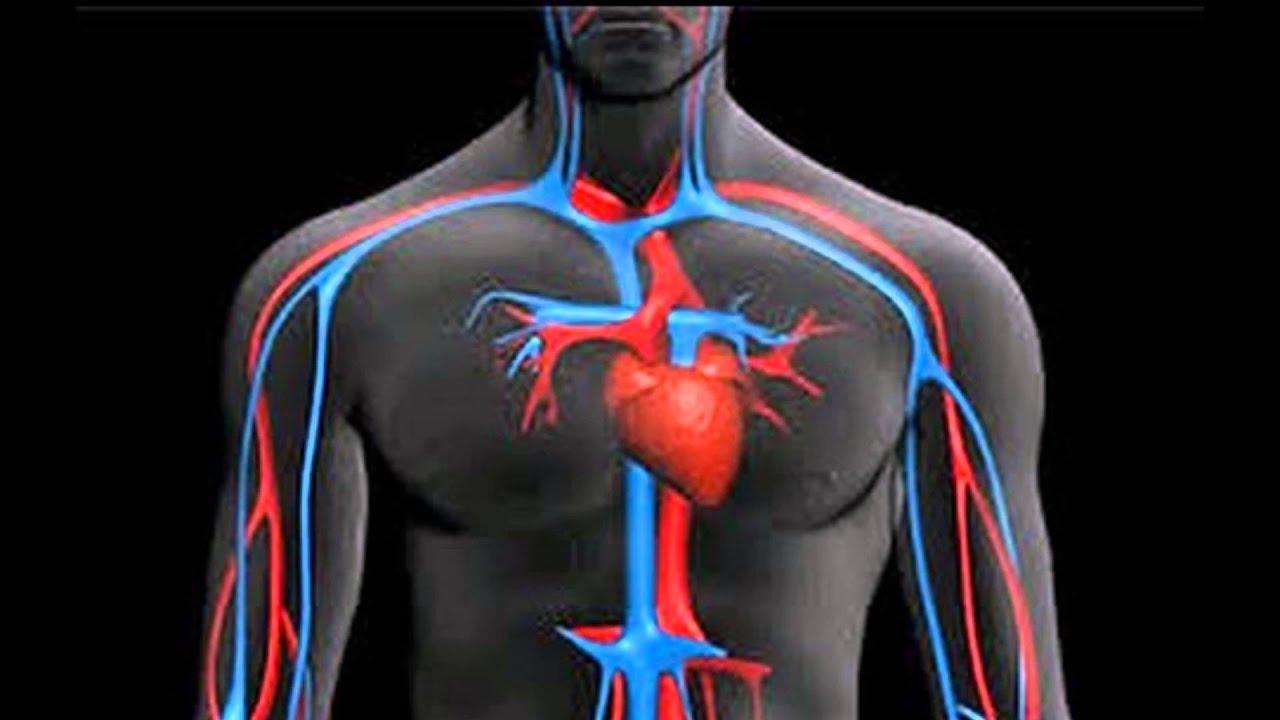 Sistema Circulatorio YouTube
