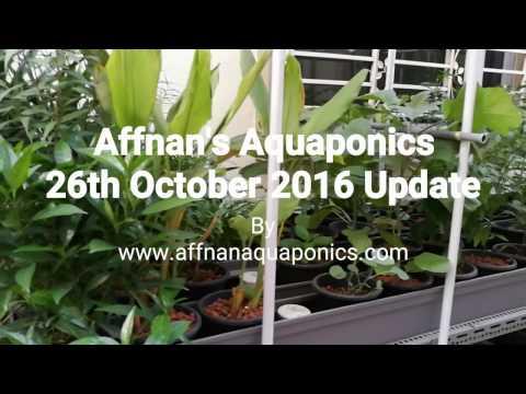 Affnan's Aquaponics - 26th Oct 2016 Updates