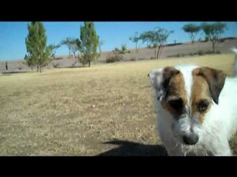 My Crazy Jack Russell Terrier Jesse