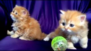 шотландские котята питомник Lanssary