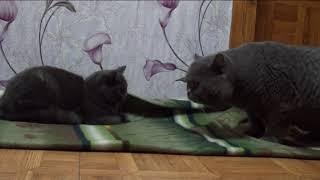 💥💥Вязка кошек. 💥💥Скоттиш-страйт. Шотландский кот. Шотландская кошка.