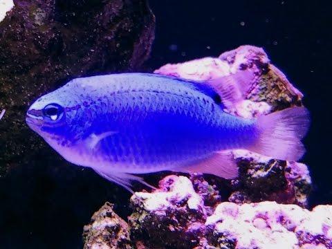 JBJ 45 gallon rimless reef - Blue Damselfish