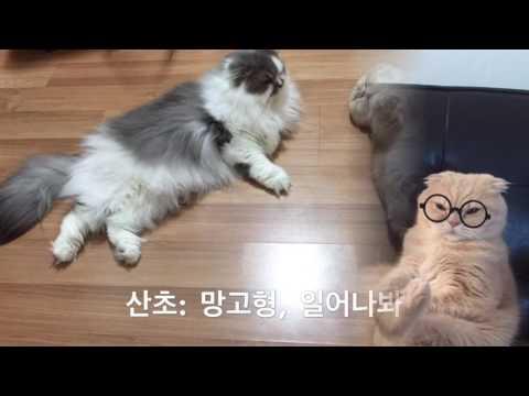 """고양이 애교 귀여운 모습 """"엄마미소 지으며 찰칵 cute cats scottish fold highland fold pic 스코티쉬폴드 망고와 하이랜드폴드 산초"""