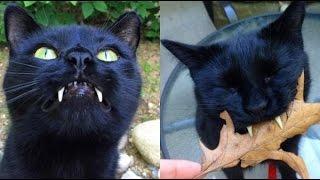 Chuyện Khó Tin_Chú mèo đen kỳ lạ có cặp răng nanh như ma cà rồng
