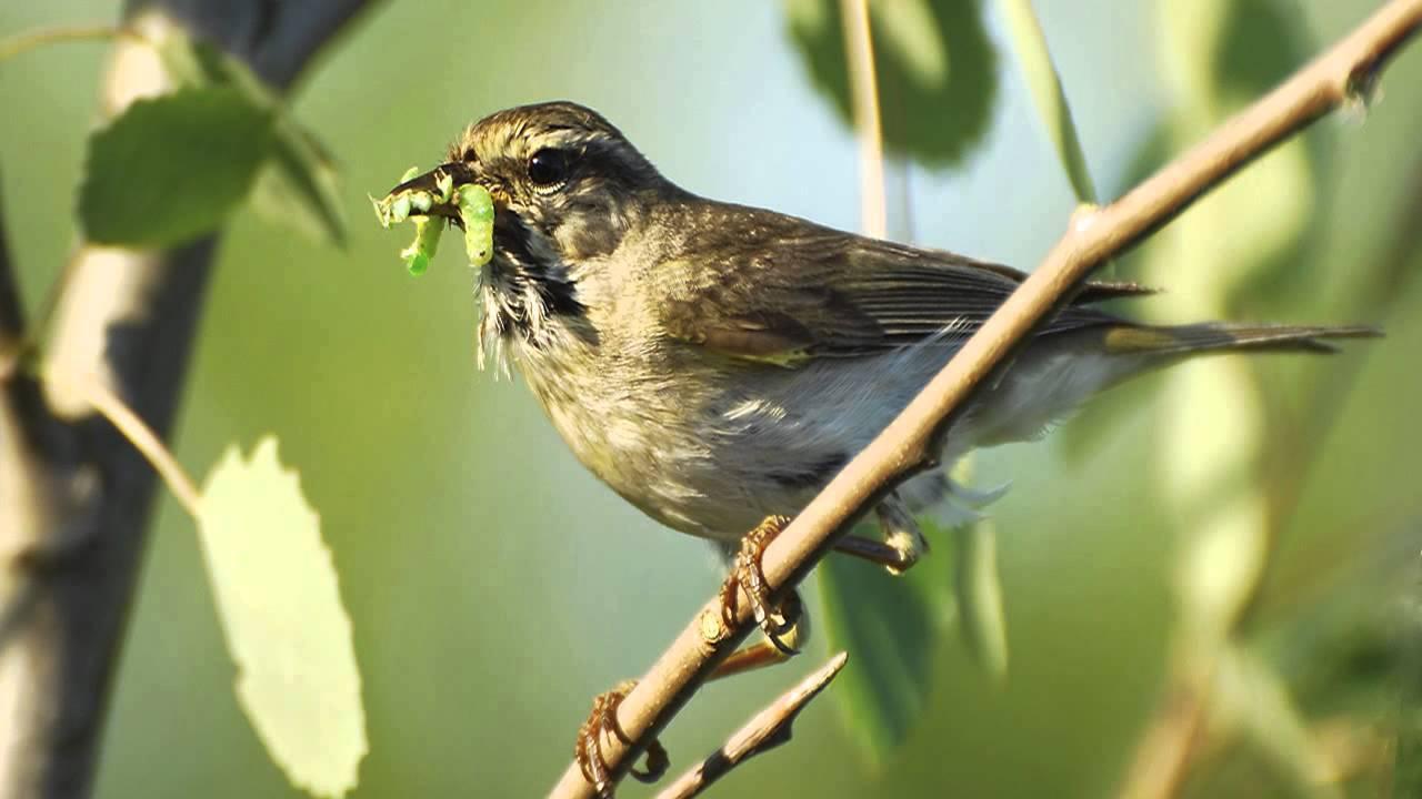 фото пеночки птицы