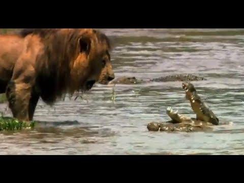 أقوى أسد فى العالم يتحدى تمساح
