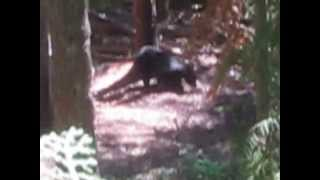 R.P.G. hits black bear.bloodiest crossbow kill shot ever on black bear ,loud moan of death