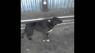 Собака с чесоткой