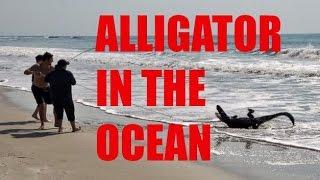 7-Foot Alligator Caught on Beach | OFF AIR | ABC News