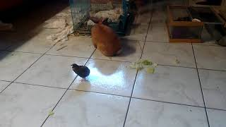 Quails and bunny playing and eating together
