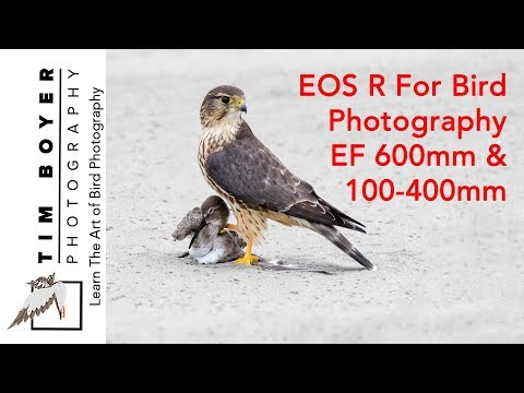 EOS R For Bird Photography EF 600 & 100-400 mm lenses