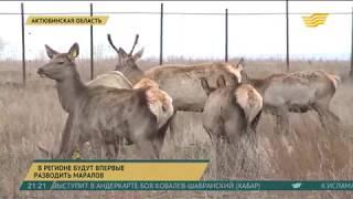 В Актюбинской области будут впервые разводить маралов