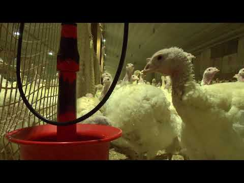 A Day in the Life of Turkey Breeder   Brey Farms
