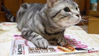 マズルぷっくり 跳びかかる瞬間思わず声が出ちゃう猫 thumbnail