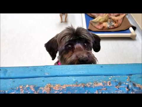 Moptop, a female  Lhasa Apso at Muttville-adopted!