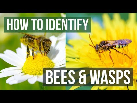 Bee or Wasp? How to Identify Bees and Wasps
