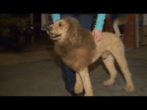 Loose lion sparks 911 calls YouTube