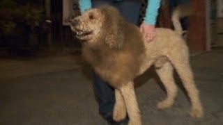 Loose 'lion' Sparks 911 Calls