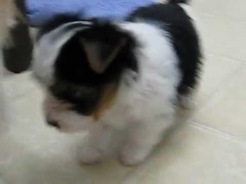 Parti Yorkie Puppies 6 Weeks Old Youtube