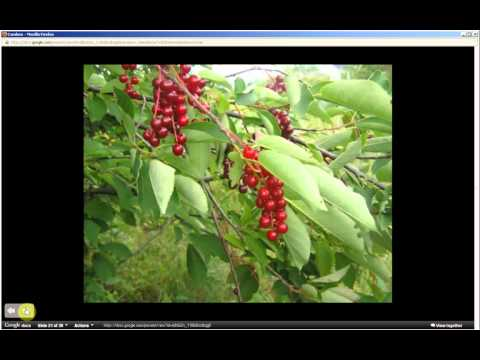Prunus virginiana | Choke Cherry (Pt 1 of 2)