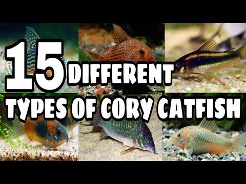 Types Of Cory Catfish | Varieties Of Cory Doras Catfish