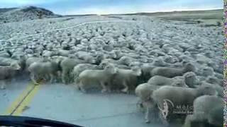 Vamos contar carneirinhos?