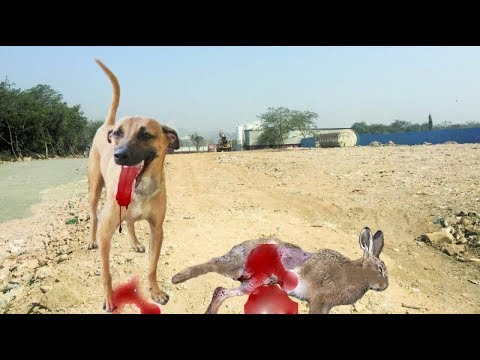Combai Dog or Kombai dog Pride of Tamilnadu & Dog training