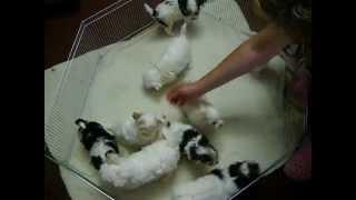 Golddust & Biewer Yorkshire Terrier Puppy - Kennel Magic Biewer-poland