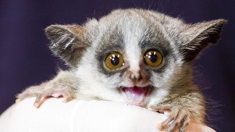 Animal Facts Bush Babies Prefer To Live In Trees With Grass Around The Base But Will Also Live In Man Made Beehives