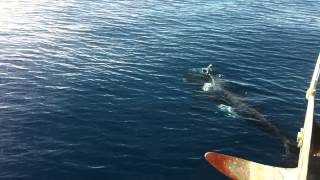 Orca whales Channel Islands Ventura California