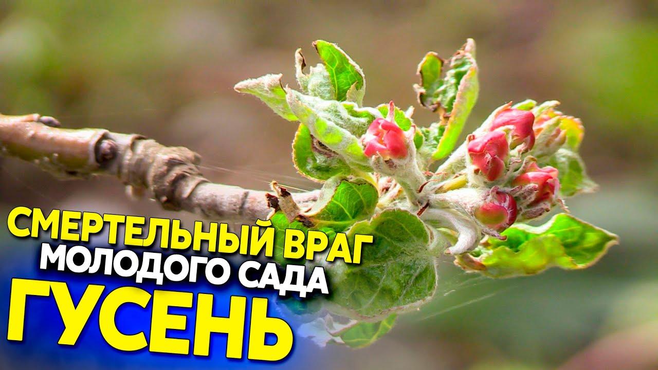 Смертельные вредители молодых деревьев, древесница въедливая