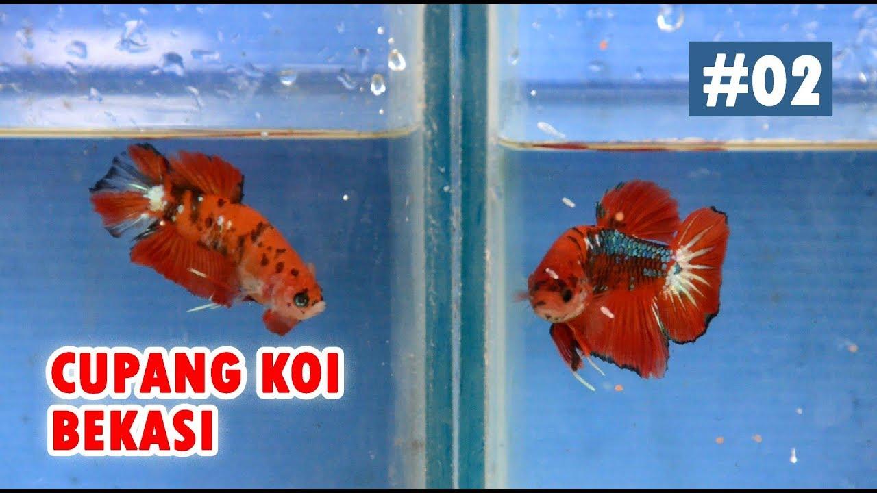 Jual Ikan Cupang Koi Bekasi #2 - YouTube