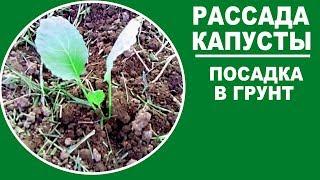 Рассада капусты . Когда и  как сажать капусту в открытый грунт