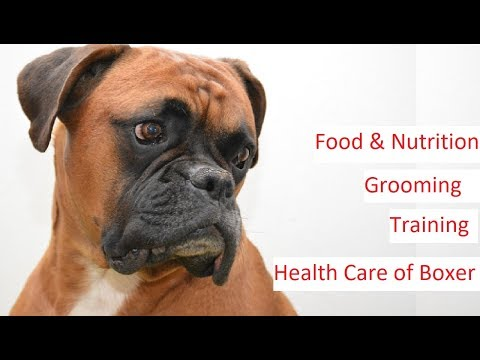 Boxer Dog 101 - Feeding, Training, Grooming & Health Care Of A Boxer Dog