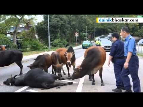 Bull Killed By Vehicle, Companions Refuse To Leave His Side
