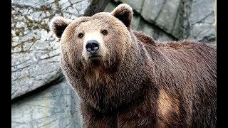 Фильм про огромного медведя, пародия на годзиллу. 1 часть.