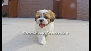 Dallas The Teddybear Mal-shi Hybrid Cross Hypoallergenic Male Puppy