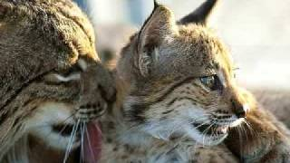 On the brink of extinction - the return of the lynx!