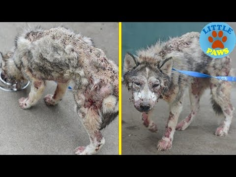 Stray Hungry Husky Covered In Mange Finds Love Again, Now Watch Her Transformation