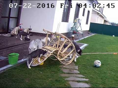 Хаски Женя, Альва и её щенки играют. Huskies playing.