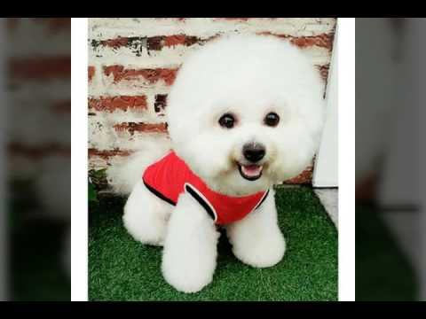 Cute Bichon Frise dog - Pets Worldwide